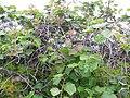 Starr-120620-9729-Actinidia deliciosa-leaves-Kula Agriculture Station-Maui (24558635963).jpg