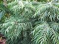 Starr-121108-0706-Murraya koenigii-leaves-Pali o Waipio-Maui (25169597336).jpg