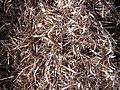 Starr-121219-1187-Heteropogon contortus-seeds in sacks-LZ Squid-Kahoolawe (24830801829).jpg