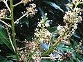 Starr-130312-1715-Mangifera indica-flowers var Nam doc mai-Pali o Waipio Huelo-Maui (24576158124).jpg