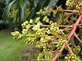 Starr-130312-2229-Mangifera indica-Fairchild flowers-Pali o Waipio Huelo-Maui (24580162073).jpg