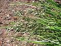 Starr-130514-2107-Poa pratensis-seedheads-Science City-Maui (24843168949).jpg