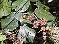 Starr-140909-1755-Hibiscus tiliaceus-seedpods-Wailua-Maui (25127581482).jpg