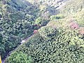Starr-141014-2188-Caesalpinia decapetala-aerial view-Kakipi Gulch Haiku-Maui (25128923182).jpg
