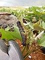 Starr-141217-2959-Ipomoea batatas-flowering habit with sweet potato hornworm Agrius cingulata larva-Lua Makika-Kahoolawe (24618707274).jpg