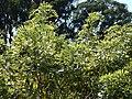 Starr-141229-3343-Gliricidia sepium-habit-Hoku Nui Piiholo-Maui (25250443495).jpg