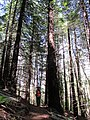 Starr-170304-7175-Sequoia sempervirens-with Forest-Boundary Trail Polipoli-Maui (33000188910).jpg