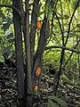 Starr 020813-0015 Theobroma cacao.jpg