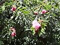 Starr 030702-0075 Calliandra haematocephala.jpg