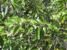 Annonaceae