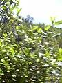 Starr 040131-0024 Alyxia oliviformis.jpg