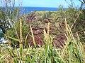 Starr 050315-5189 Eragrostis variabilis.jpg