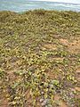 Starr 050519-6853 Solanum nelsonii.jpg