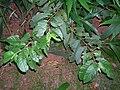Starr 050818-4173 Psidium guajava.jpg