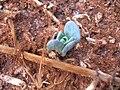 Starr 060721-8401 Heliotropium curassavicum.jpg