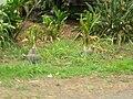 Starr 060810-8516 Cordyline fruticosa.jpg