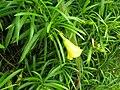 Starr 060916-8883 Thevetia peruviana.jpg
