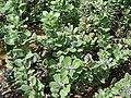 Starr 061129-1712 Vitex rotundifolia.jpg