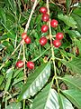 Starr 070617-7333 Coffea arabica.jpg