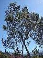 Starr 071024-0214 Leucadendron argenteum.jpg