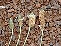 Starr 080327-3890 Plantago lanceolata.jpg