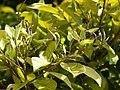 Starr 080531-5025 Ficus microcarpa.jpg