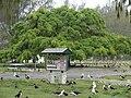 Starr 080607-7364 Ficus benjamina.jpg
