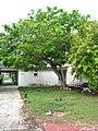 Starr 080608-9427 Erythrina variegata.jpg
