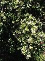 Starr 080812-9651 Psydrax odorata.jpg