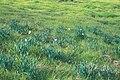 Starr 990107-3127 Narcissus tazetta.jpg