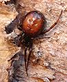 Steatoda bipunctata (female) 01.JPG