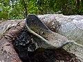Stingless Bees (Tetrigona binghami) nest (15656282746).jpg