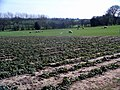 Strawberry field and sheep - geograph.org.uk - 393878.jpg