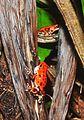 Strawberry poison-dart frog (Oophaga pumilio or Dendrobates pumilio) (9463826057).jpg