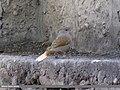 Streaked Laughingthrush (Trochalopteron lineatum) (15862274476).jpg