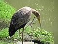 Striated heron (7856557166).jpg