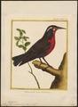 Sturnella militaris - 1700-1880 - Print - Iconographia Zoologica - Special Collections University of Amsterdam - UBA01 IZ15800281.tif