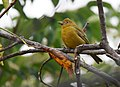 Summer Tanager (29827043503).jpg