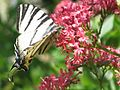 Supetarska Draga - Butterfly and flower(Leptir i cvijet) - panoramio.jpg