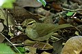 Swainson's Warbler Hooks Wood High Island TX 2018-04-11 10-04-25 (26941163947).jpg