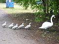 Swancrossing.jpg