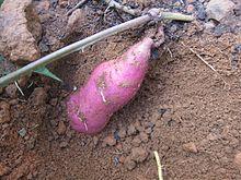 Sweet Potato - മധുരക്കിഴങ്ങ് 003.JPG