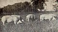 Swinia zlotnicka, loszki remontowe biale.jpg