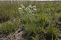 Symphyotrichum ericoides - Flickr - aspidoscelis.jpg