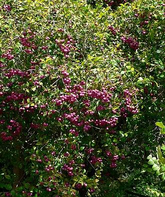 Syzygium smithii - Image: Syzygium smithii 2