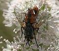 Tachinidae (possibly Linnaemya sp.) in Scotland.jpg