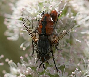 Linnaemya - Tachina fly, tentatively identified as a Linnaemya species, from Scotland