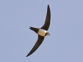 Tachymarptis melba -Barcelona, Spain -flying-8.jpg