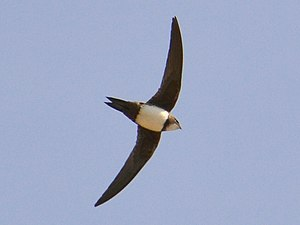 Alpine swift - Flying in Spain