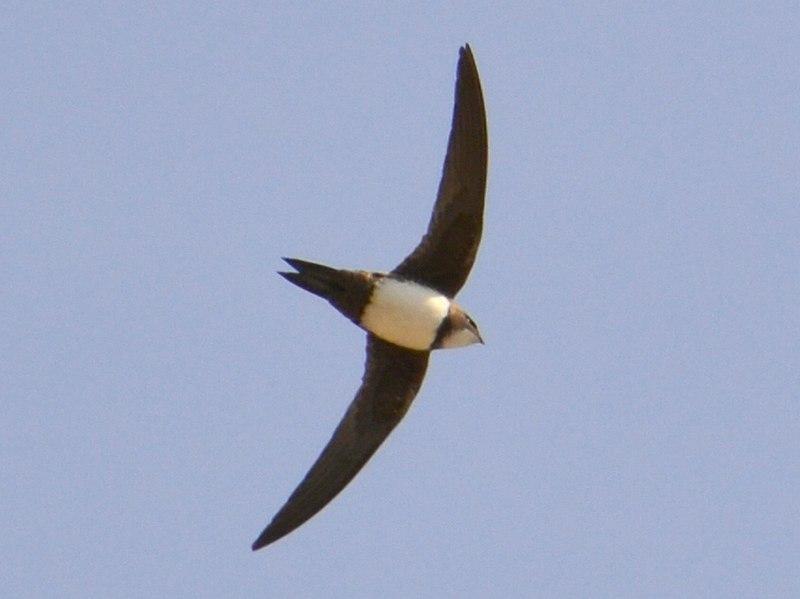 Foto van de Alpengierzwaluw